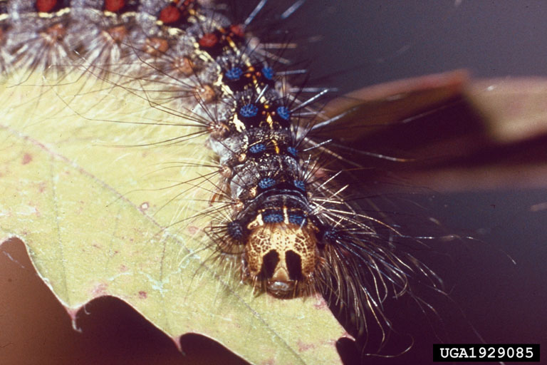 Piture: Gypsy Moth Larva